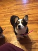 Pembroke Welsh Corgi Puppy For Sale in URBANA, MO, USA