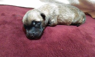 Belgian Malinois Puppy For Sale in HOUSTON, TX