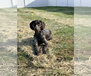 German Shorthaired Pointer Puppy for sale in MBORO, TN, USA