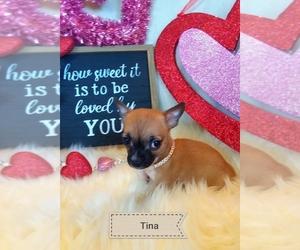 Chihuahua Puppy for sale in ELBERTA, AL, USA