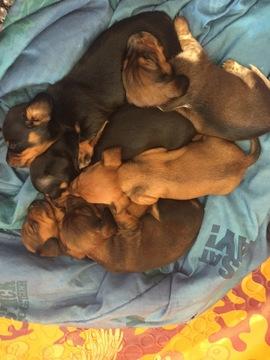 View Ad: Dachshund Puppy for Sale near Connecticut, GRANBY, USA  ADN