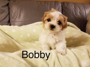 View Ad Shih Poo Puppy For Sale California Los Angeles Usa