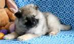 Keeshond Puppy for Sale