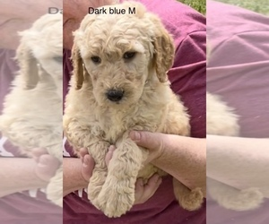 Goldendoodle Puppy for Sale in CROTON, Michigan USA