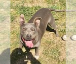 Small #19 American Pit Bull Terrier