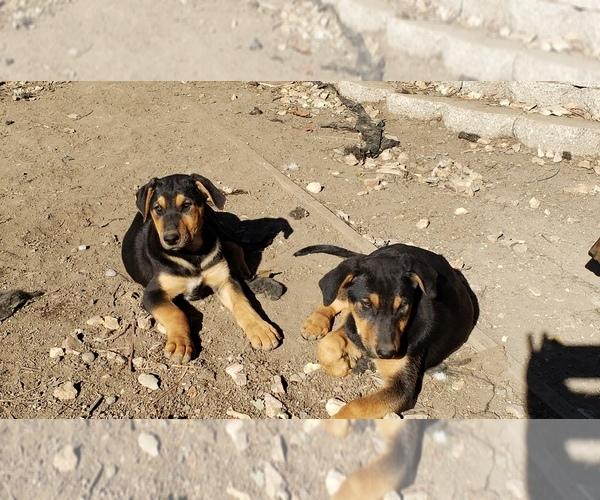 View Ad: Doberman Pinscher-German Shepherd Dog Mix Puppy For Sale In Finland