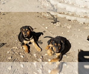 Doberman Pinscher-German Shepherd Dog Mix Puppy for sale in AMERICAN CANYON, CA, USA