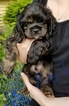 Puppy 4 Cocker Spaniel
