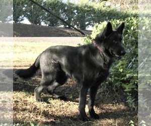 Father of the German Shepherd Dog puppies born on 04/03/2021
