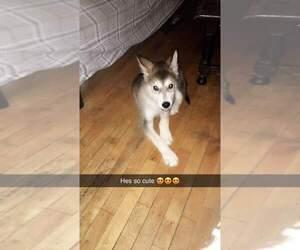 Alaskan Malamute Puppy for sale in CADILLAC, MI, USA