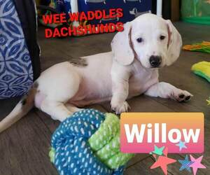 Dachshund Puppy for sale in WALLACE, CA, USA
