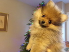 Pomeranian Puppy For Sale in SPRING HILL, KS,