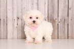 Marigold Female Maltese
