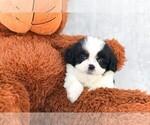 Emma The Teddy Bear Puppy