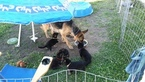 German Shepherd Dog Puppy For Sale in JACKSONVILLE, FL