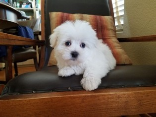 Maltese Puppy For Sale in SANTA CLARITA, CA, USA