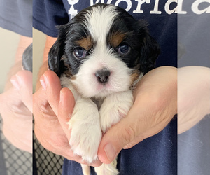 Cavalier King Charles Spaniel Puppy for sale in SAN LUIS OBISPO, CA, USA