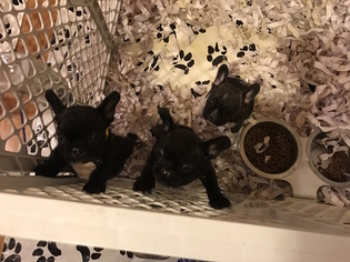 French Bulldog Puppy for sale in FAIR LAWN, NJ, USA