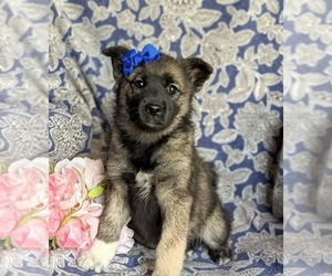 Norwegian Elkhound Puppy for sale in CHRISTIANA, PA, USA