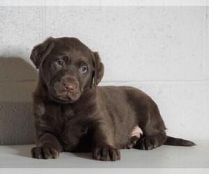 Labrador Retriever Dog for Adoption in FREDERICKSBG, Ohio USA