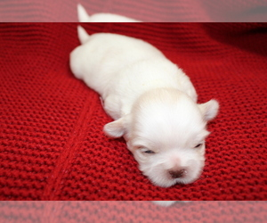 Shih Tzu Puppy for Sale in LEHIGHTON, Pennsylvania USA