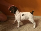 German Shorthaired Pointer Puppy For Sale in AUSTIN, TX