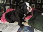 Olde English Bulldogge Puppy For Sale near 21921, Elkton, MD, USA