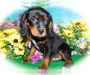 Beaglier-Cavalier King Charles Spaniel Mix Puppy for Sale in HAMMOND, Indiana USA