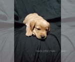 Puppy 7 Golden Labrador
