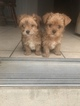 Yorkshire Terrier Puppy For Sale in KYLE, TX, USA
