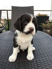 English Springer Spaniel Puppy For Sale in CEDAR HILL, TX, USA