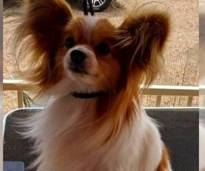 Papillon Puppy for sale in FREWSBURG, NY, USA