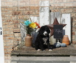 Small Photo #3 Bernedoodle Puppy For Sale in DUNDEE, OH, USA