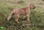 Cane Corso Puppy For Sale in OLYMPIA, Washington,