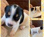 Small #1 Parson Russell Terrier