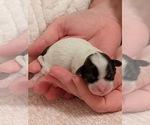 Puppy 5 Mal-Shi