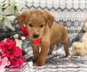 Labradoodle Puppy for sale in CLAY, PA, USA