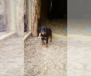 Doberman Pinscher Puppy for sale in CITRONELLE, AL, USA