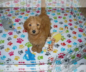 Goldendoodle Dog for Adoption in ORO VALLEY, Arizona USA
