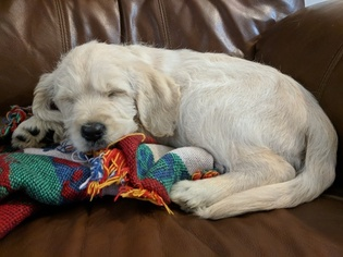 Labradoodle Puppy For Sale in BAHAMA, NC, USA