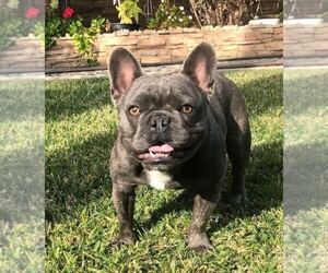 Father of the French Bulldog puppies born on 03/22/2020