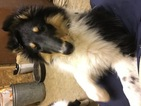 Collie Puppy For Sale in PICKFORD, Michigan,