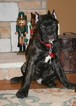 Cane Corso Puppy For Sale in MONTVILLE, OH, USA
