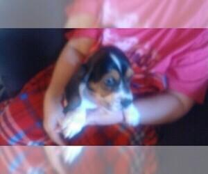 Basset Hound Puppy for sale in CHICKASHA, OK, USA