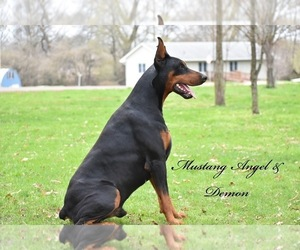 Doberman Pinscher Puppy for sale in EASTON, MO, USA