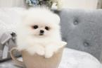 Pomeranian Puppy For Sale in SAN JOSE, California,