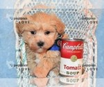Small #14 Maltipoo-Poodle (Toy) Mix