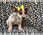 Small #11 Australian Cattle Dog-Jack Russell Terrier Mix