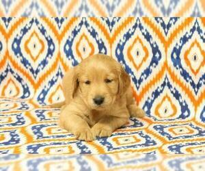 Golden Retriever Puppy for Sale in HAVILAND, Ohio USA