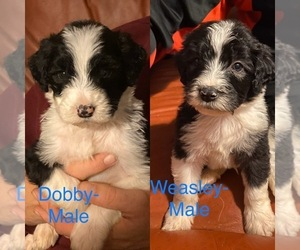 Sheepadoodle Puppy for sale in CROMWELL, KY, USA